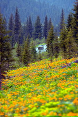 "Siberian flowers named in Siberia ""Zharki"" are seen with mountains in the background in Western ..."