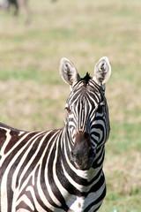 Foto op Aluminium Zebra Zebraportrait im sonnigen Tansania