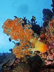 Orange soft coral, Orange Weichkoralle (Scleronephthya gracillimum)