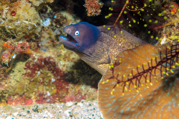 Little Moray eel on a coral reef. The Island Of Mindoro. Philippines.
