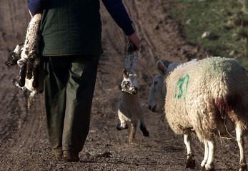A FARMER CARRIES HIS LAMBS TO HIS FARM IN WIGTON CUMBRIA.