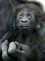 TWO MONTHS OLD GORILLA BABY KITO RESTS ON HIS MOTHER'S HAND IN COLOGNE ZOO.