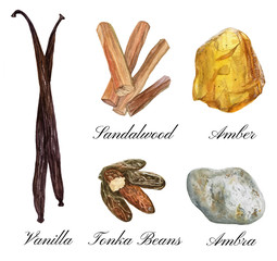Set of watercolor illustrations of basic perfume notes: vanilla, tonka beans, ambra, sandalwood