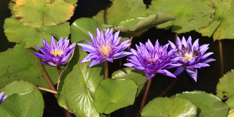 Blooming purple lotus flowers