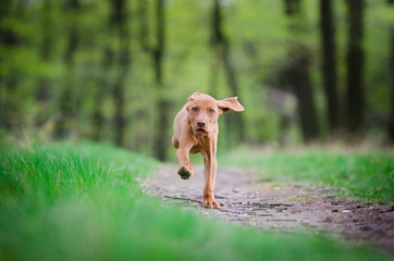 Ten week old puppy of vizsla dog running in the forrest in spring time
