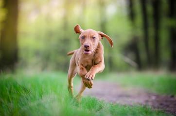 Ten week old puppy of vizsla dog running in the forrest in spring time
