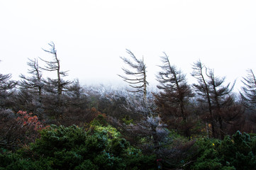 Frozen trees on a foggy and cold day in Autumn,  Zao Mountain Range, Japan