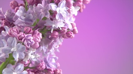 Klistermärke - Lilac flowers background. Beauty fragrant lilac tiny flowers opening closeup. 4K UHD video 3840X2160