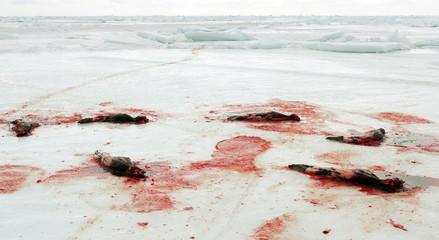 Carcasses of skinned harp seals are left in the Gulf of St. Lawrence