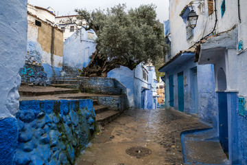 Big old olive tree growing in the small yard of the blue city, in the rain