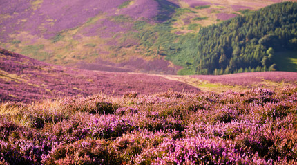 Violet Heather flowering meadow.