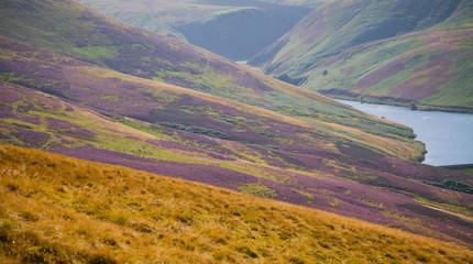 Idyllic Scottish landscape with Purple Heather Flowers Blossom