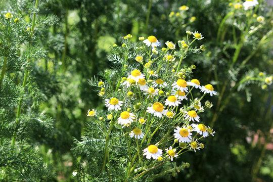 Roman chamomile herb garden