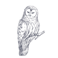 Owl sketch. Vector biological hand drawn illustration of wild bird isolated on white.