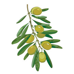 Vector bunch with outline green Olive, unripe fruits and leaves isolated on white background. Olive branch in contour style for healthcare, food menu or natural cosmetic design.