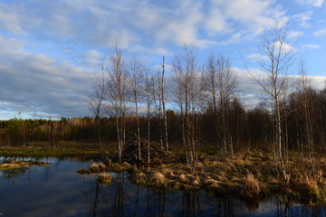 Forest river wild terrain with beaver houses on a spring evening