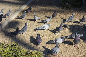 Feral Pigeons In A Park