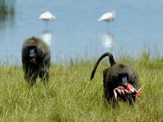 FILE PHOTO SHOWS TWO BABOONS EATING A FLAMINGO INSIDE KENYA'S LAKE NAKURU NATIONAL PARK.