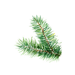 The branch of fir tree on white background, watercolor illustration in hand-drawn style.