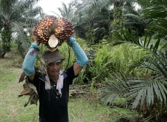 -PHOTO TAKEN 03MAY06- A worker carries palm oil fruits at a plantation near Kuala Lumpur May 3, 2006..