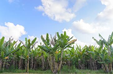 Banana tree plantation with daylight.