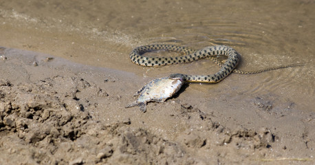 Snake eating a fish in the Volga Delta, Astrakhan, Russia.