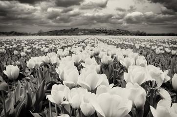 Tulips field in the Netherlands near Noordwijk, dune in the background.