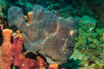 Frogfish on coral. The Island Of Mindoro. Philippines.