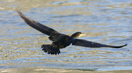 Cormorant flies over the Tiber river in Rome