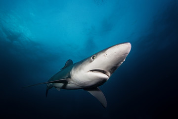 Blue shark, prionace glauca, Atlantic ocean