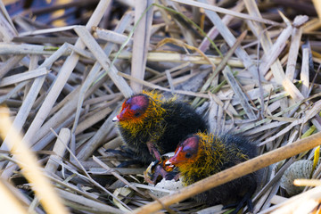 Chicks of Eurasian coot (Fulica atra) in the nest with egg
