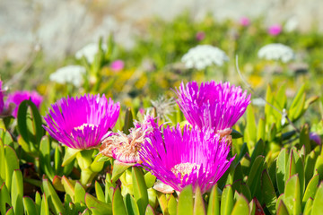 Hottentots Fig flowers on a dune sand in Sardinia