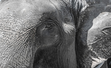 The eye of the elephant skin wrinkled gray large close. The horizontal frame.