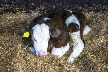 Hereford calf with a yellow ear mark