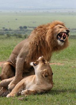 Two African lions roar while mating in Kenya's Maasai Mara game reserve