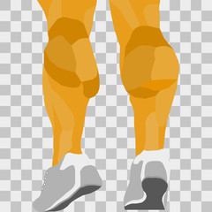 vector image lower legs. leg muscles on a transparent background