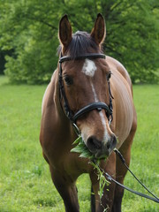 brown horse potrait, grass background, eating grass