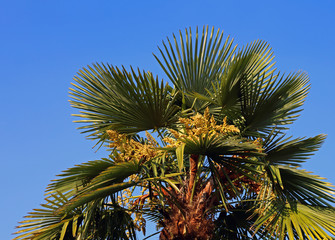 Lush palm tree with dates in the tropical country in summer