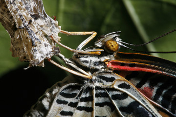 A newly emerged Leopard Lacewing butterfly dries its wings after crawling out from its chrysalis in Singapore