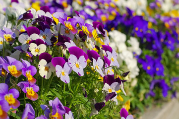 Stiefmütterchen - pansy flowers in spring