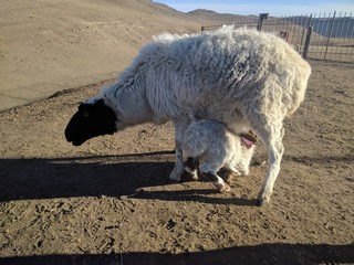 Sheep and its young, Mongolia