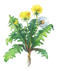 Dandelion spring flowers (Taraxacum, blowball ). Hand drawn watercolor painting on white background.