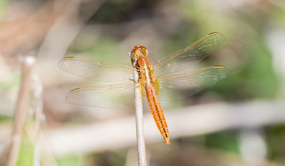 Broad Scarlet (Crocothemis erythraea) Dragonfly on a Stalk in Northern Tanzania