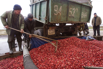 Workers unload cranberries out of a truck at a state farm in the village of Selishche