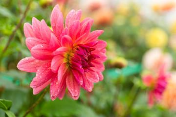 Chrysanthemums field