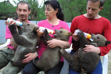 THREE OUT OF FIVE BROWN BEAR CUBS FED BY THEIR CARETAKERS IN SLOVAKIA.