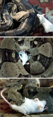 COMBO PICTURES SHOWING A SNAKE EAT A MOUSE.