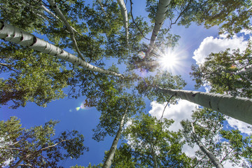 Green Aspen Trees Against Blue Sky with Sun