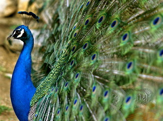 A male peacock displays its feathers in a park in Skopje May 8, 2005...