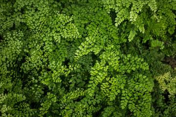 View of mature Tasmanian tree Ferns